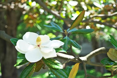 Southern Magnolia Flower Tree Seeds