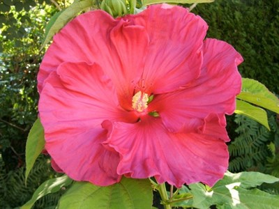 Hibiscus Giant Rose Mallow