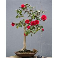 Bonsai Red Camellia Seeds