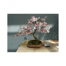 Japanese Sakura Bonsai Tree Seeds