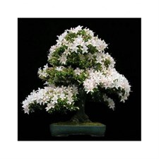 Jasmine Bonsai Potted Seeds