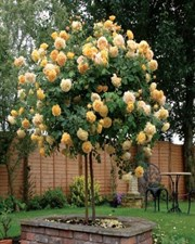 Yellow Rose Tree Seeds