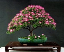 Bonsai Albizia Julibrissin Seeds