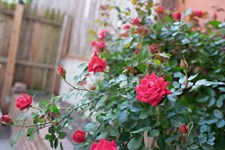 Red Spark Climbing Rose