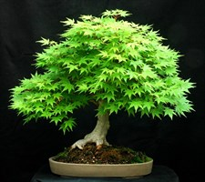 Bonsai American Green Maple Seeds