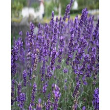 Royal Velvet English Lavender Seeds