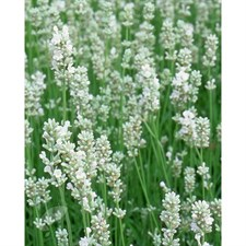 Arctic Snow English Lavender Seeds