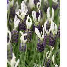 Ballerina English Lavender Seeds