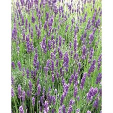 Twickel Purple English Lavender Seeds