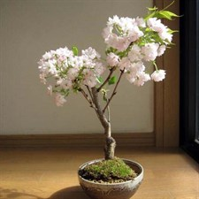 Bonsai Cherry Blossom Seeds