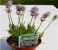 Little Lottie English Lavender Seeds
