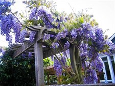 Wisteria Blue Vines