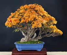 Rare Bonsai Yellow Azalea Seeds