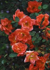 Warm Welcome Climbing Rose Seeds