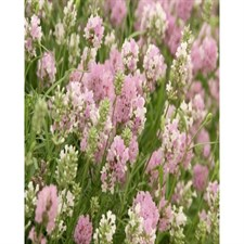Rosea English Lavender Seeds
