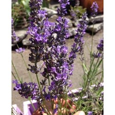 Seal English Lavender Seeds