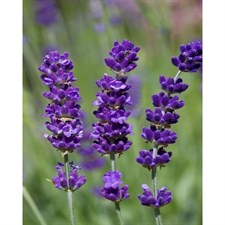 Melissa Lilac English Lavender Seeds