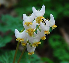 Bleeding Heart Dutchman's Breeches
