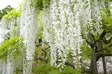 Wisteria White Vines