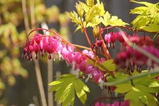 Bleeding Heart Gold
