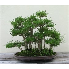 Japanese Semillas Bonsai Seeds