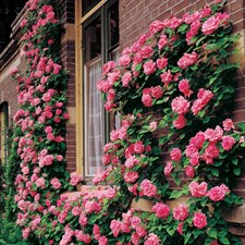 Pink Lady Rose Climbing Seeds