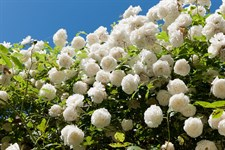 White Climbing Rose Seeds