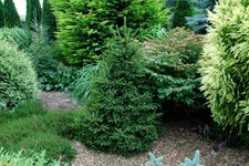 Mixed Shape Garden Conifer Seeds (Bonsai Family)