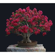 Red Bonsai Crape Myrtle Seeds