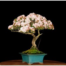 Bonsai Pink and White Azalea Seeds