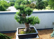 Bonsai Podocarpus Pine Tree Seeds