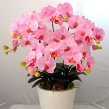 Bonsai Pink Phalaenopsis Seeds