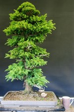 Bonsai Cedar Tree Seeds