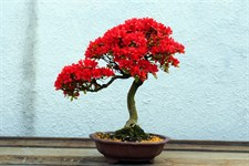 Red Azalea Seeds (Bonsai Family)