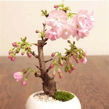 Cherry Bonsai Potted Garden Seeds