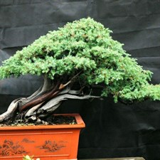 Cypress Bonsai Tree