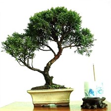 Bonsai Cypress Tree Seeds