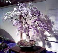 Bonsai Wisteria Tree Seeds