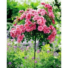 Pink Rose Tree Seeds