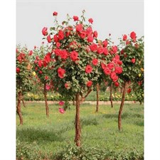 Red Rose Tree Seeds