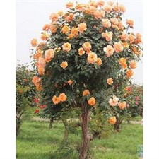 Orange Rose Tree Seeds