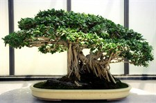 Bungeana Bonsai Tree Seeds