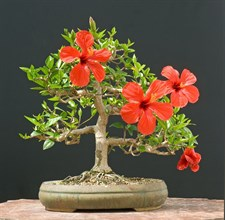 Bonsai Red Hibiscus Plant Seeds
