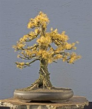 European Larch Bonsai Tree Seeds