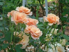 Royal Sunset Climbing Rose Seeds