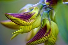 Crotalaria Regal Birdflower Stripes