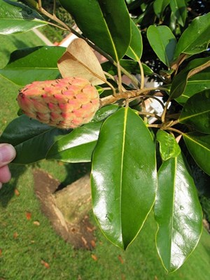 Trees Cucumber Magnolia Flower Tree Seeds In Pakistan For Rs
