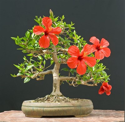 Bonsai Bonsai Red Hibiscus Plant Seeds In Pakistan For Rs 79900